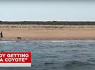 Picture for Woman Fends Off Circling Coyote with Stick After 10-Minute Standoff on Cape Cod Beach: 'So Scared'