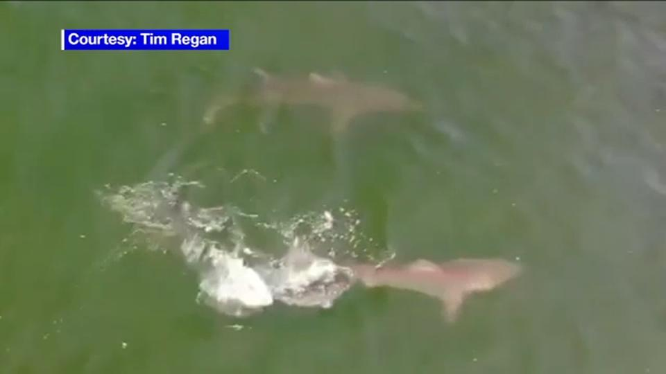 Picture for Air, water patrols boosted after 2 days of shark sightings on Long Island