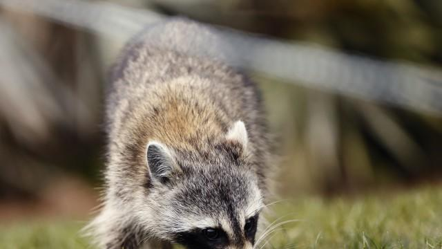 Picture for Residents in two York Co. areas alerted about racoons with rabies