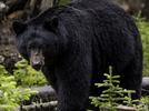Picture for Bear sighted at Rend Lake in Franklin County