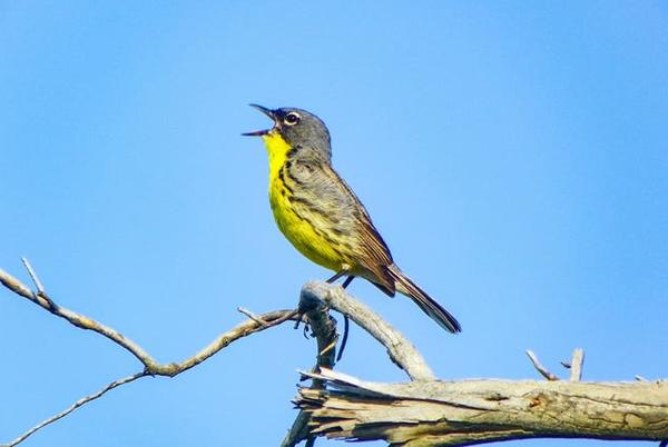 Picture for Once endangered, Kirtland's Warbler population in Michigan continues to flourish