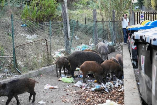 Picture for Romans say enough to wild boar invasion