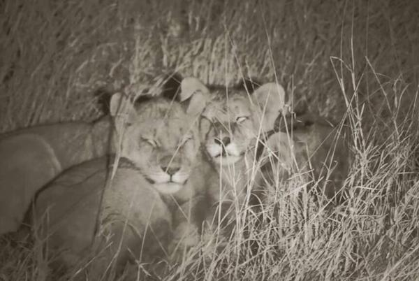 Picture for Cecil's Cubs Bravely Face The Night Together