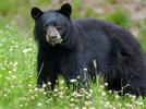Picture for [VIDEO] Bear and dog caught 'playing' together in Vermont backyard garden
