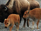 Picture for Woman injured by bison in Yellowstone National Park flown to hospital