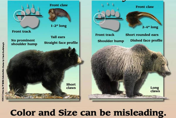 Picture for Rare grizzly bear confirmed in northern Idaho forest