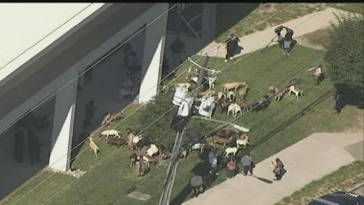 Cover for Herd of escaped goats wanders through Georgia town