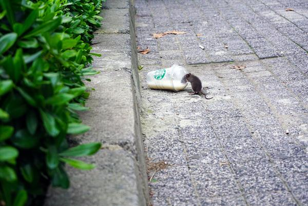 Picture for This Maine City Ranked Top 50 In U.S. For Rat Infestations