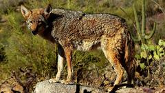 Cover for Carter: Article gave lots of coyote facts