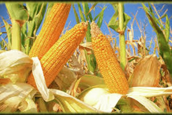 Picture for WINNERS ANNOUNCED AT 2021 MISSOURI STATE CORN HUSKING CHAMPIONSHIPS