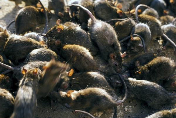 Picture for Boston Rats Exhibiting 'Aggressive' Behavior During Pandemic, Report Says