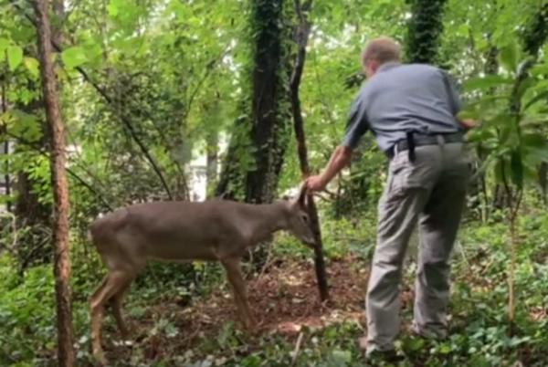 Picture for VIDEO: Wildlife officer rescues deer stuck on tree in Roswell