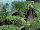 Picture for Massive illegal marijuana grow operation shut down in Grady County