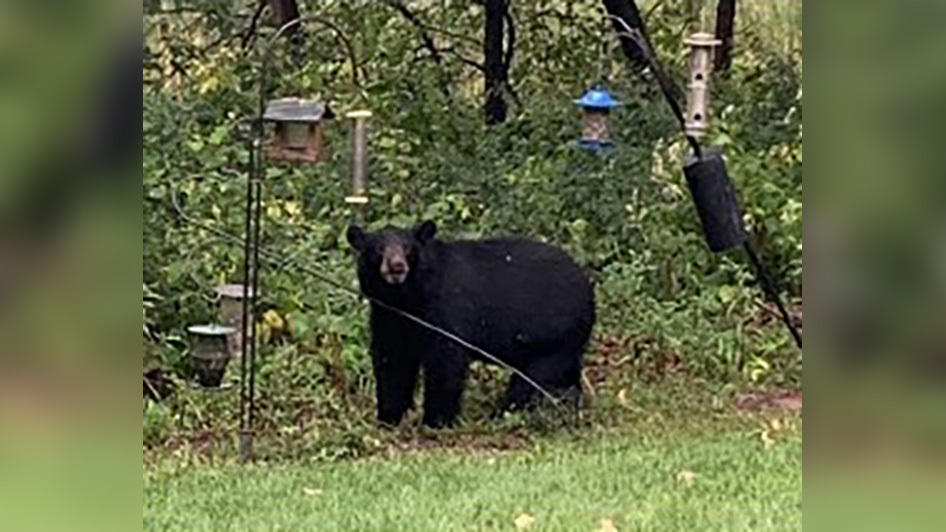 Picture for Bear Sightings On The Rise Around Twin Cities: What To Do If You See One