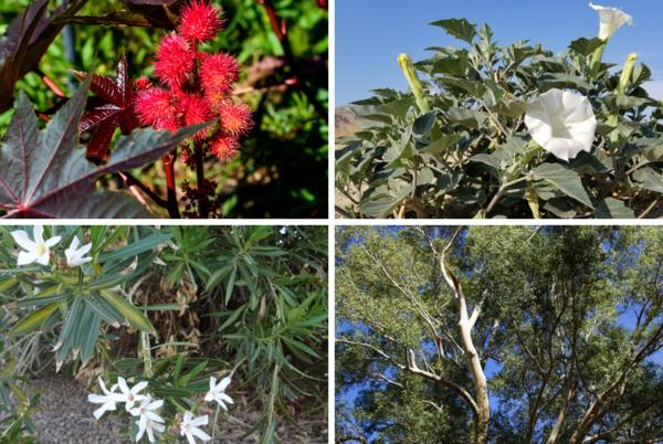 Picture for Common poisonous trees and plants in Arizona that can be harmful to pets