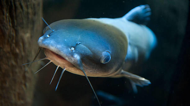 Cover for Ohio fisherman catches WV state-record blue catfish