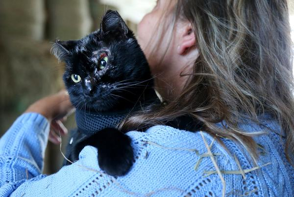 Picture for 'Miracle' cat Jinx nursed back to health after Scamman Farm barn fire