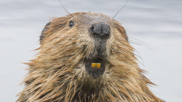 Cover for Beavers Reportedly Are To Blame for Oregon Wildfires