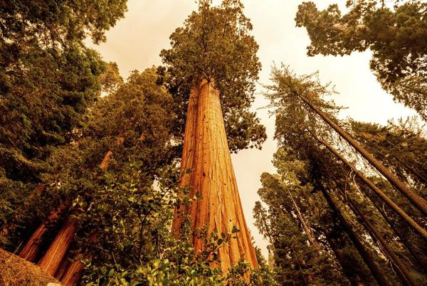 Picture for California wildfires make run toward giant sequoia groves