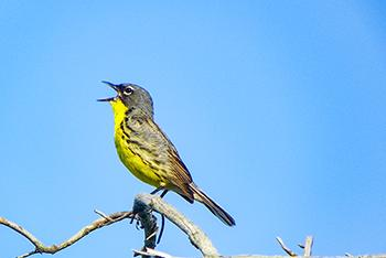 Picture for Kirtland Warbler Bird Population Increasing In Upper Peninsula