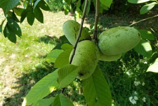 Picture for Pennsylvania's largest native fruit is ripe now, for just a few days