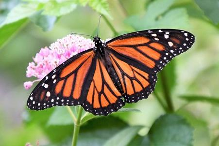 Picture for Celebrate the wonder of monarch butterfly migration