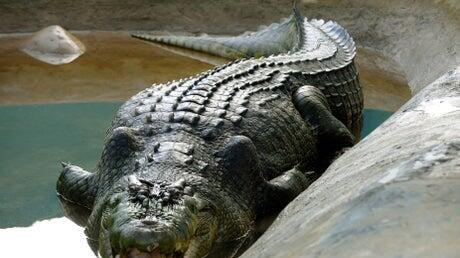 Picture for Scientists discover prehistoric giant 'river boss' crocodile in Australia