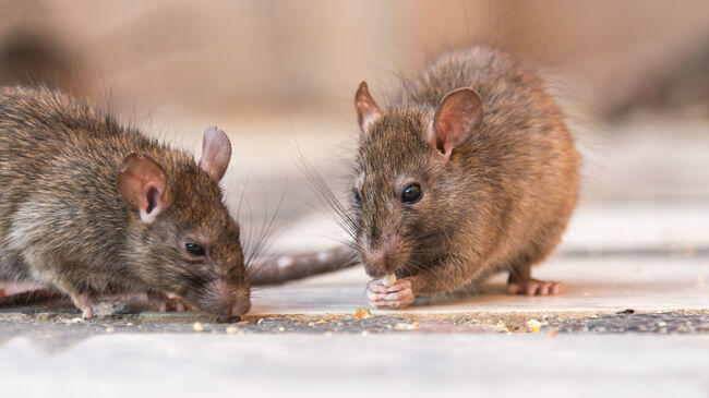 Cover for This Oregon City Is Among The 'Rattiest' Cities In America