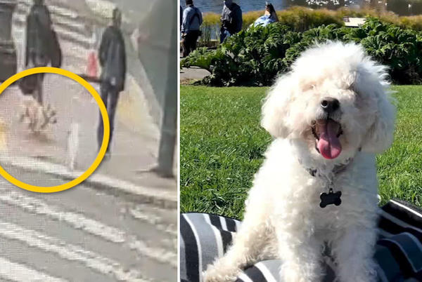 Picture for SF woman's 15-year-old maltipoo mauled to death by another dog during walk, owner runs off
