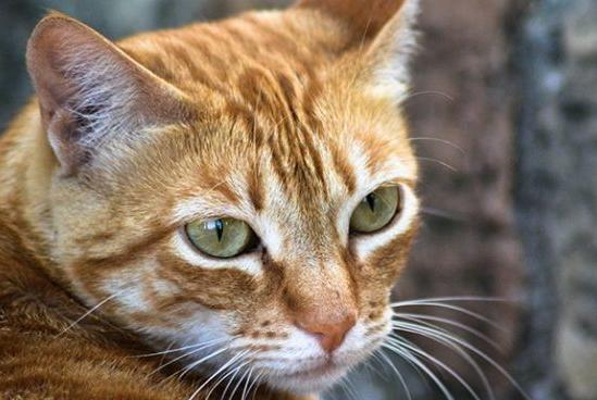 Picture for Cat Facts: Fun Tidbits About Terrific Tabby Cats