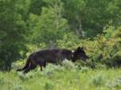 Picture for Denning possible in Colorado wolves first time in 80 years