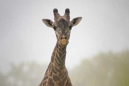 Picture for Ohio zoo mourns loss of beloved giraffe Enzi
