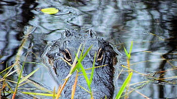 Cover for Top 4 places to go alligator watching in Kissimmee