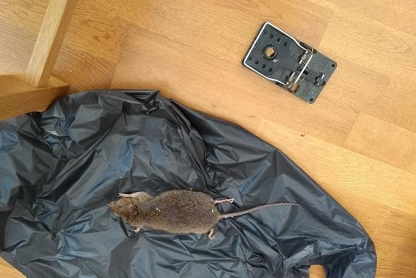 Picture for Residents say rats have overrun Whitehaven apartment complex