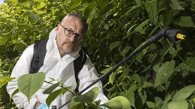 Picture for It's worst year ever for Japanese knotweed