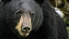 Cover for Bear wanders into Tennessee restaurant before meandering on sidewalk with tourists