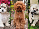 Picture for 15 Teddy Bear Dog Breeds That Look Like Stuffed Animals Came to Life