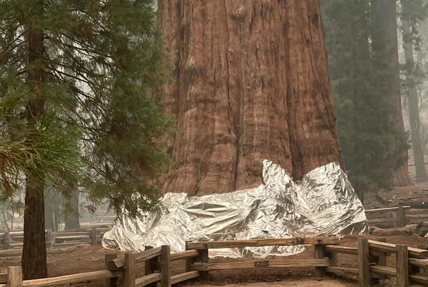 Picture for General Sherman, the world's largest tree, is wrapped in fire-resistant blanket as wildfires threaten park