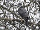 Picture for Another bird headed to endangered species status in Pennsylvania