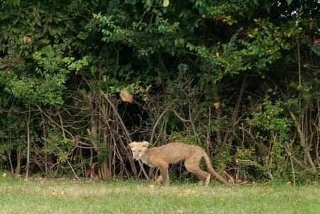 Picture for Fox sightings alarm Warren residents