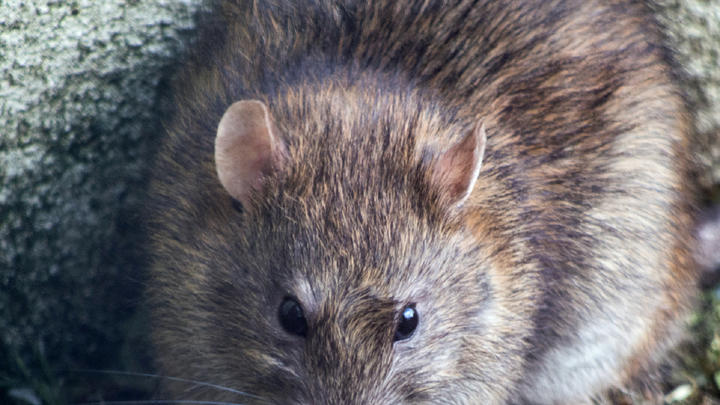 Cover for Chicago daily roundup: Rats in the city, buying Portillo's stock, a stay in Chicago's most haunted hotel, and more