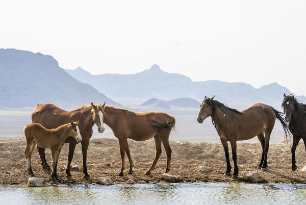Picture for Report: BLM turns a blind eye to cattle grazing impacts, blames wild horses