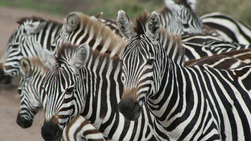 Play Soccer With These Guys Manchester United Shocks World With Zebra Style Kit News Break