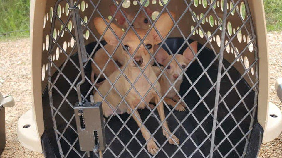 Picture for Someone keeps abandoning chihuahuas around southwest Missouri