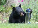 Picture for Opinion: 'Irresponsible human behavior is deadly for black bears' in CT