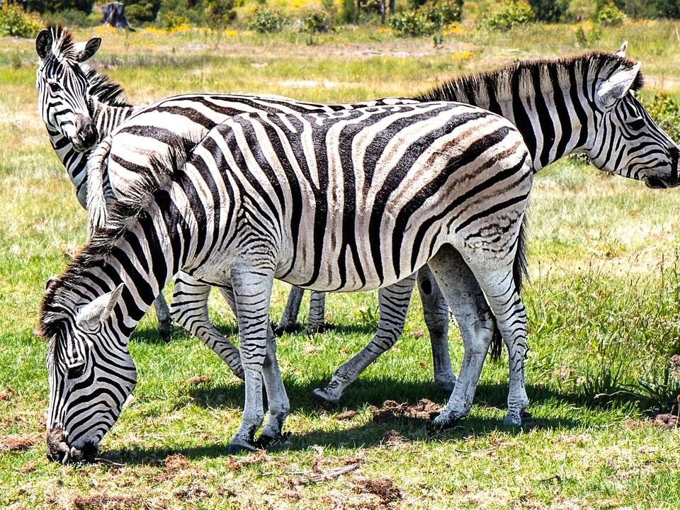 Maryland zebras on the loose for a WEEK as five stripped