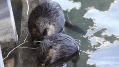 Cover for Mystery Surrounds the Deaths of 3 Beavers on Northwestern University Campus