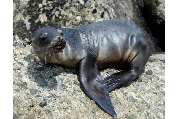 Picture for Sea lion colony in Mexico defies declining numbers