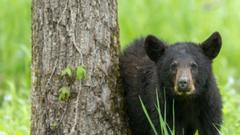 Cover for Bear bites camper in Gallatin County
