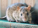 Picture for A brief history of rats in the Puget Sound region